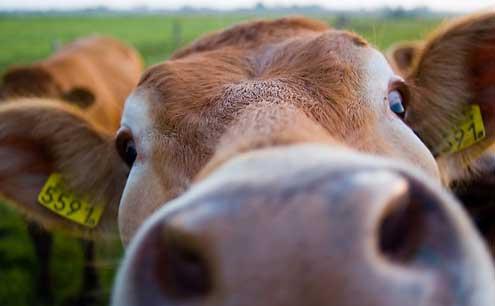 Rupert auer k hlen und melken - Image de vache drole ...